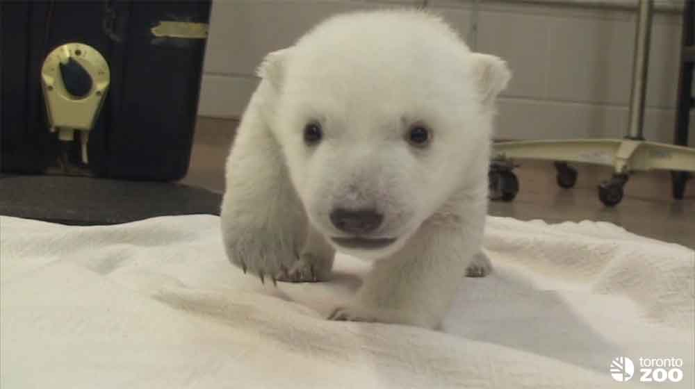 The Toronto Zoo's Newest Polar Bear Cub Takes First Steps