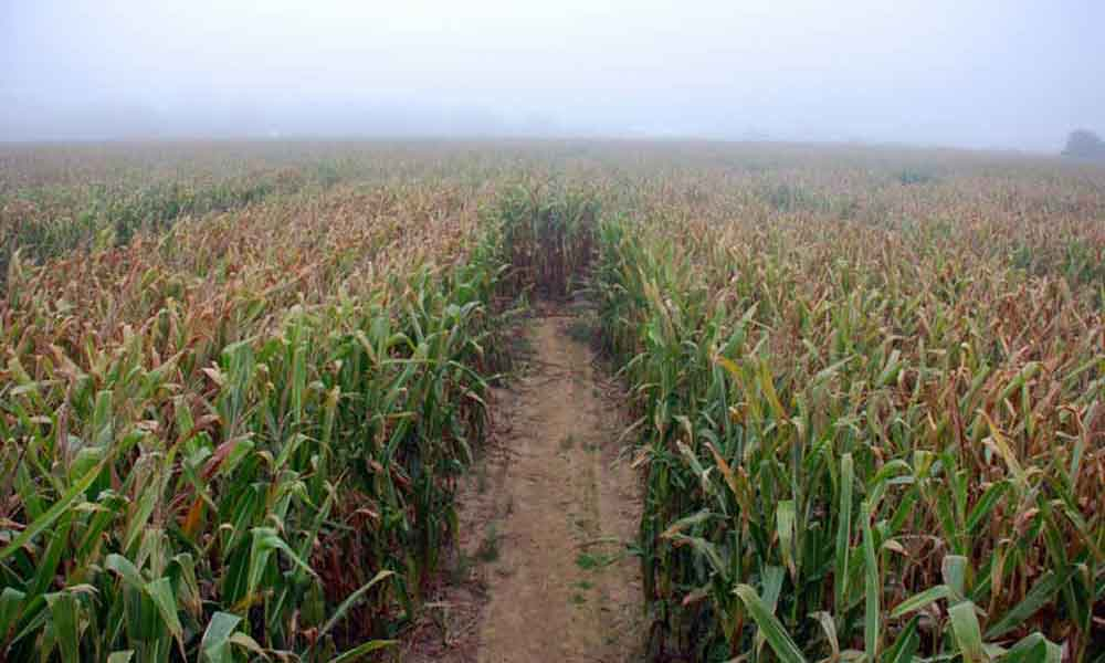 3 Hamptons Corn Mazes To Explore This Fall