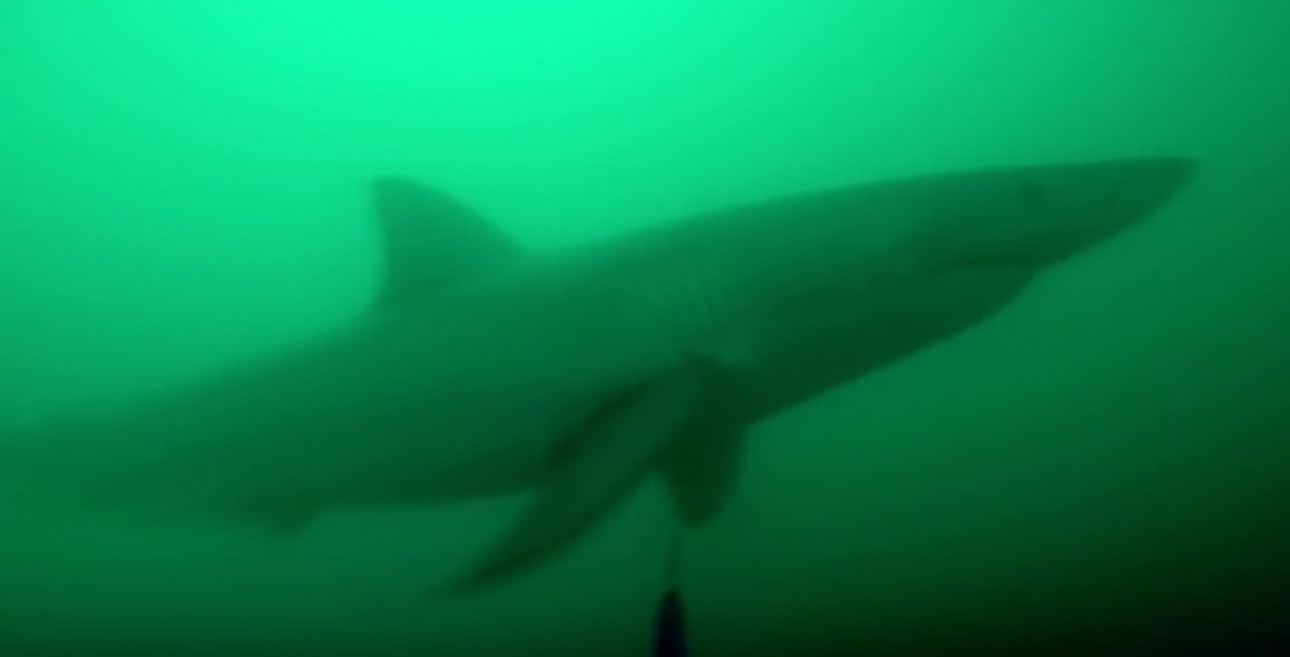 Spearfisherman Has Encounter With Aggressive Great White Shark