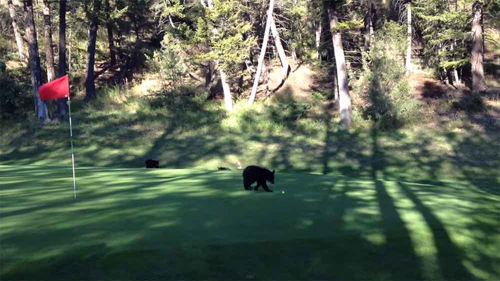 Bear Cub Golf Course Attack!