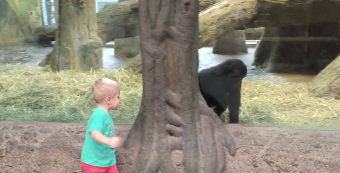 Toddler Plays Hide And Seek With Baby Gorilla