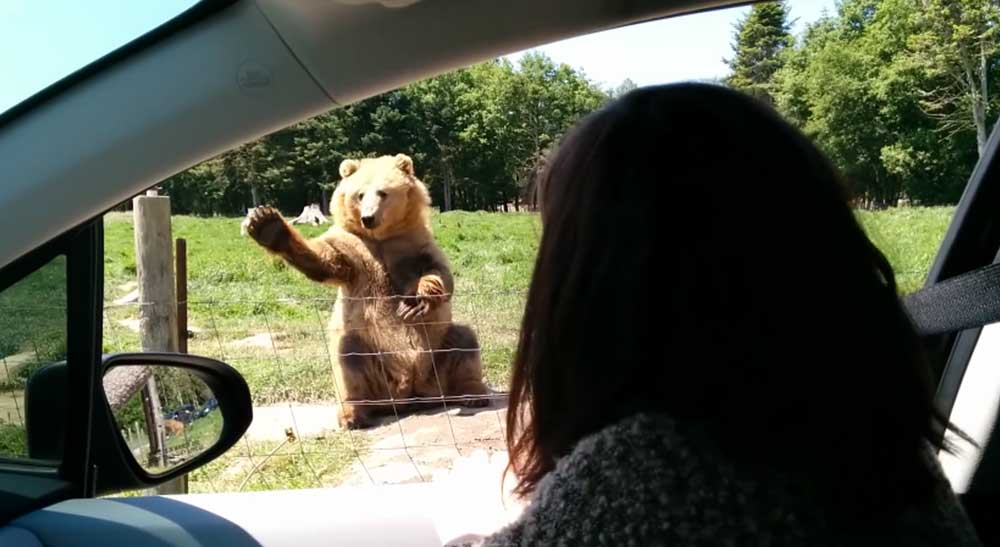 Waving Bear Makes Effortless One Handed Catch