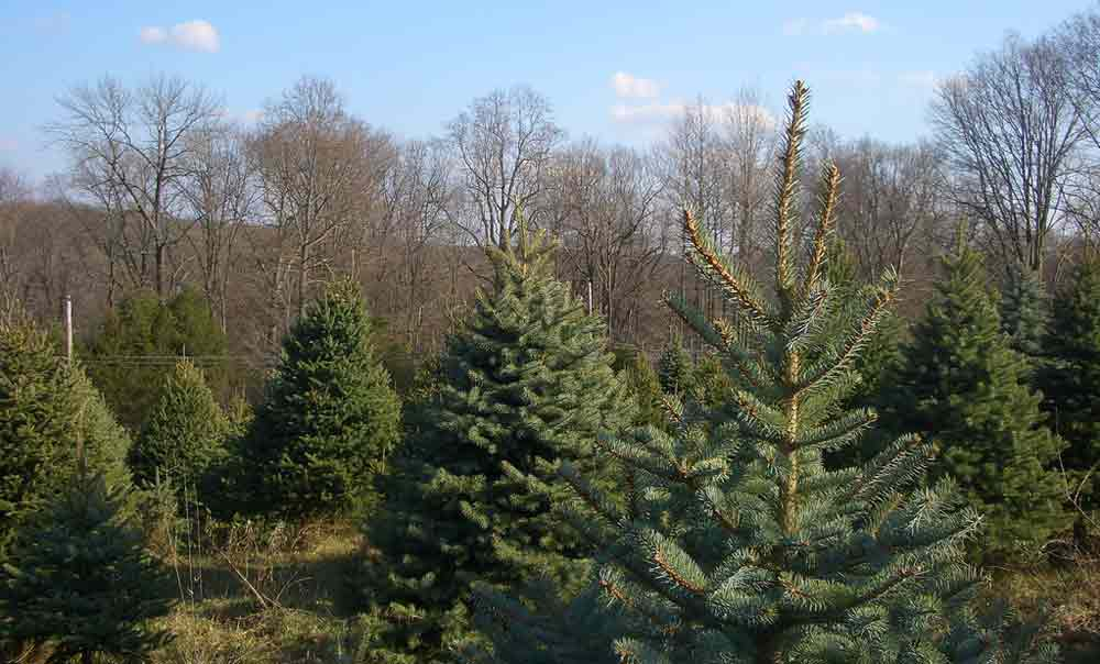 Cut Your Own Christmas Tree on the North Fork