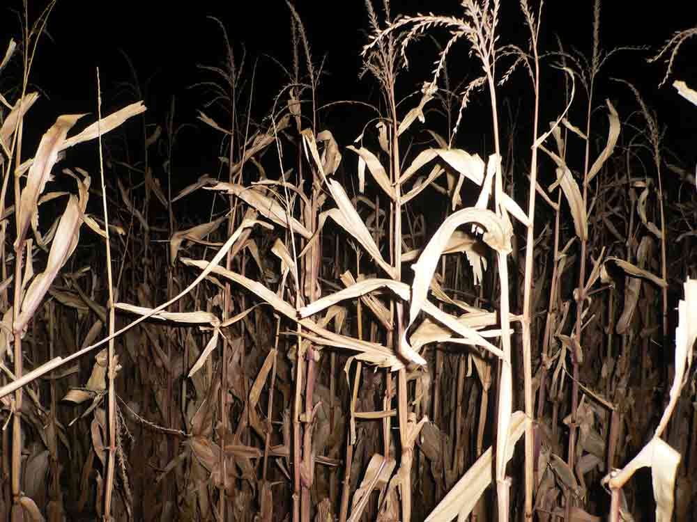 The East End's Haunted Corn Mazes