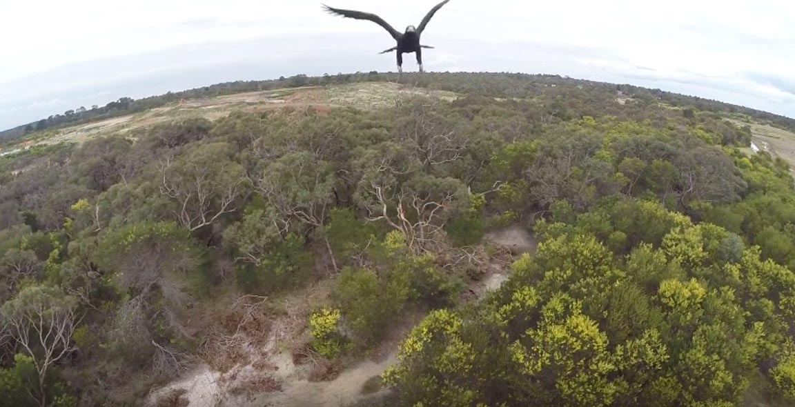 Australian Eagle Takes Out Drone in Midair