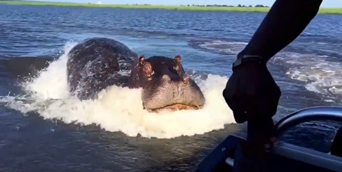 Crazy Footage: Hippo Charges Boat in Botswana