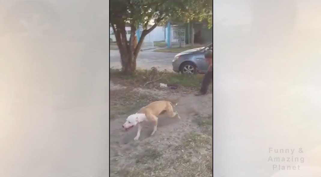 You Won't Believe How High This Pit Bull Can Jump