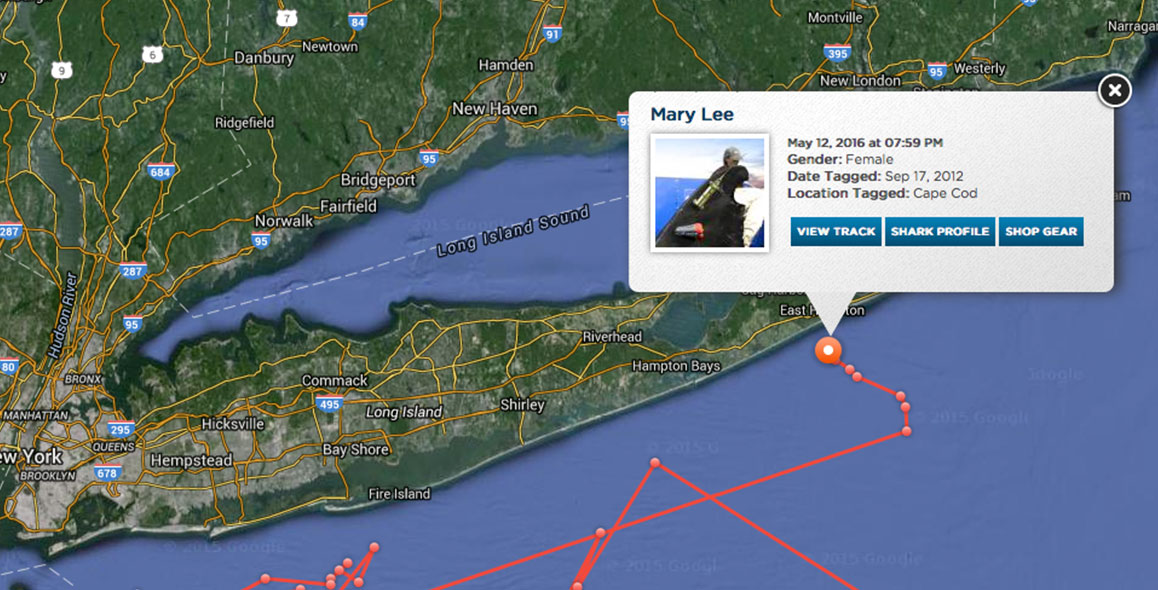 Great White shark 'Mary Lee' Returns To Long Island