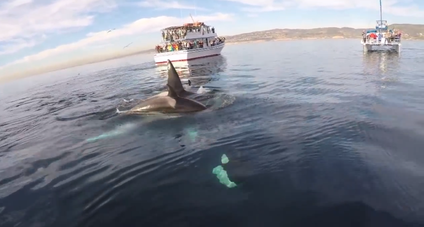 Killer Whales Swim Underneath Paddleboarder