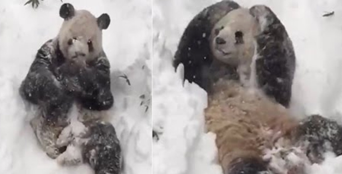 Smithsonian Zoo's Panda Tian Tian Enjoys The Blizzard