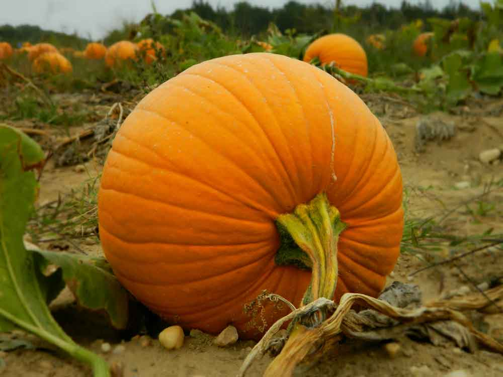 Pick 3: Hamptons Pumpkin Patches