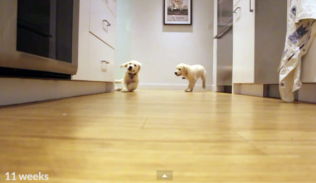 Time Lapse Video of Golden Retriever Puppies Running To Dinner