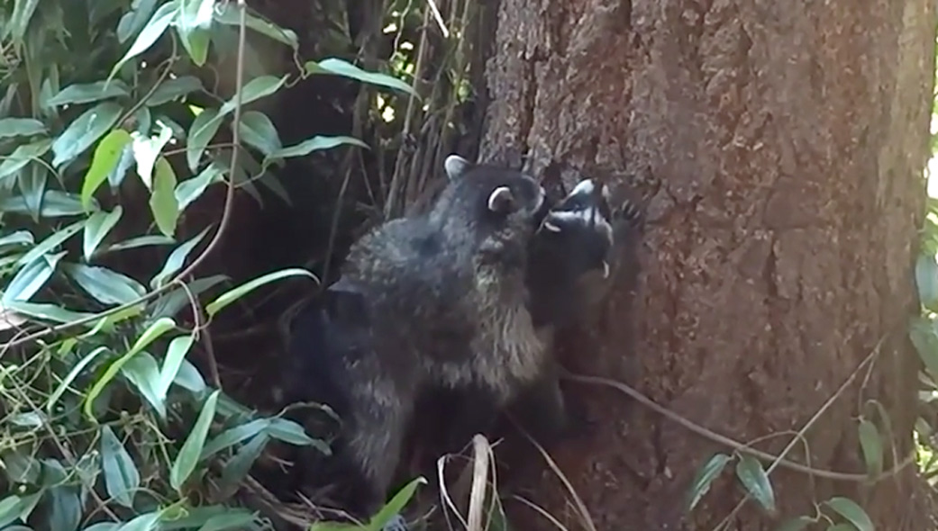 Mother Raccoon Teaches Her Cub How To Climb A Tree