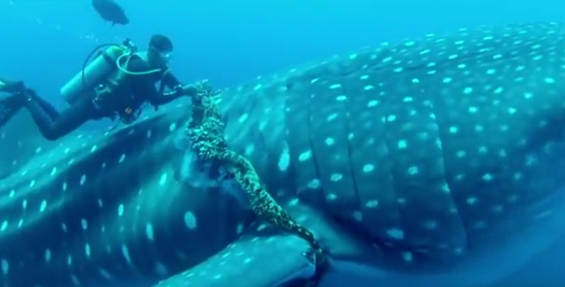 Diver Saves Whale Shark Caught in Rope